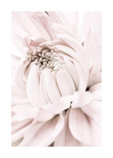 Chrysanthemum No 05
