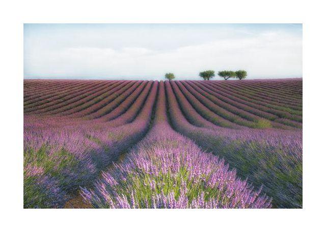 Velours de Lavender