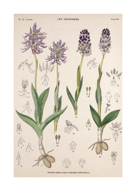 Vintage flower Orchis