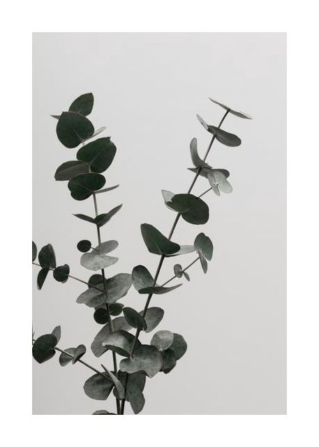 Eucalyptus Natural 04