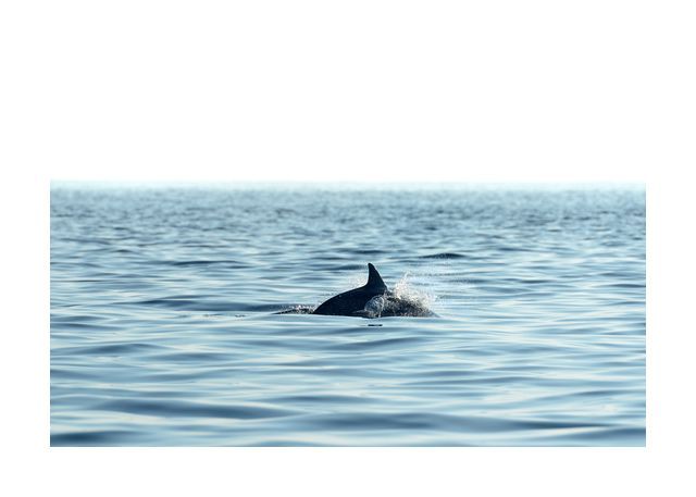 Swimming dolphin in the sea