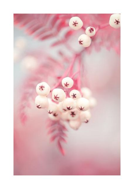 Berries on a twig No2