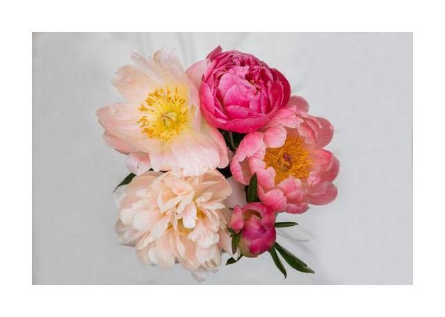 peonies bliss
