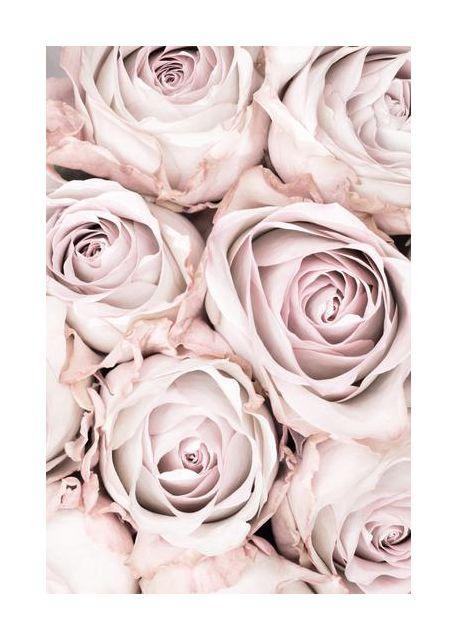 Pink Roses No 01