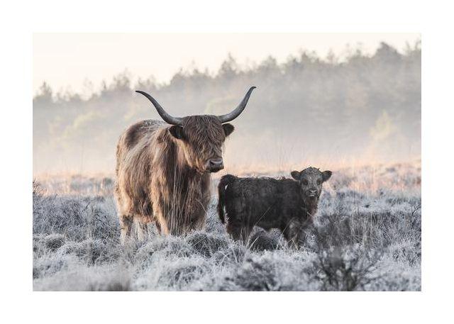 Highlander and Calf
