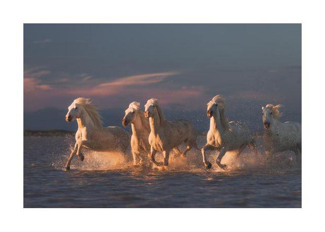 Camargue horses on sunset