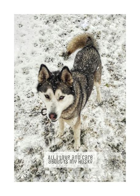 Husky lovers