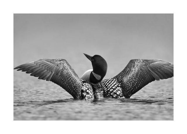 Common loon in black and white