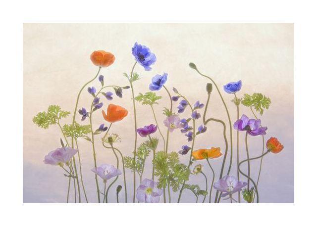 Poppy a Anemone