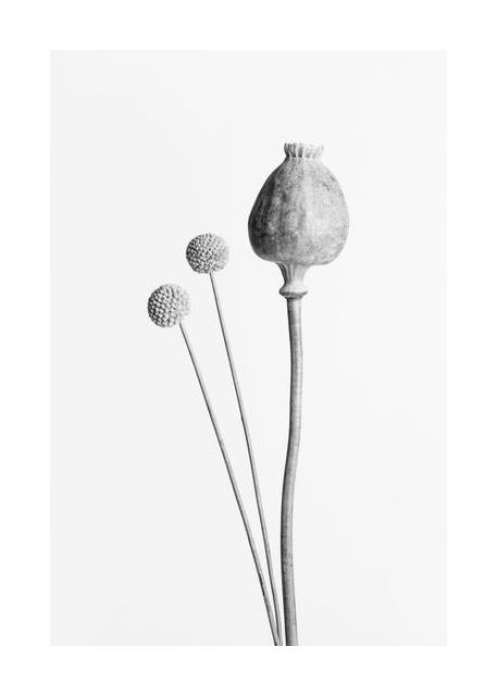 Poppy Seed Capsule Black and White