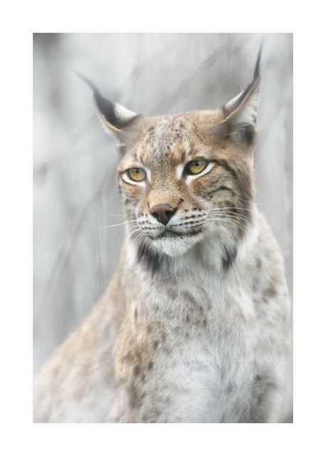 Lynx portrait in the fog