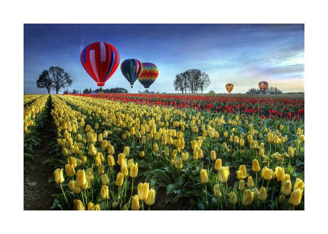 Hot air balloons over tulip field