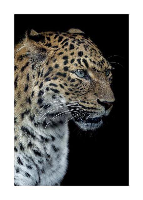 Panthere portrait version 2.0