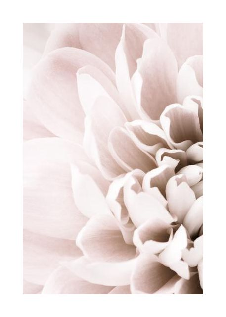 Chrysanthemum No 02