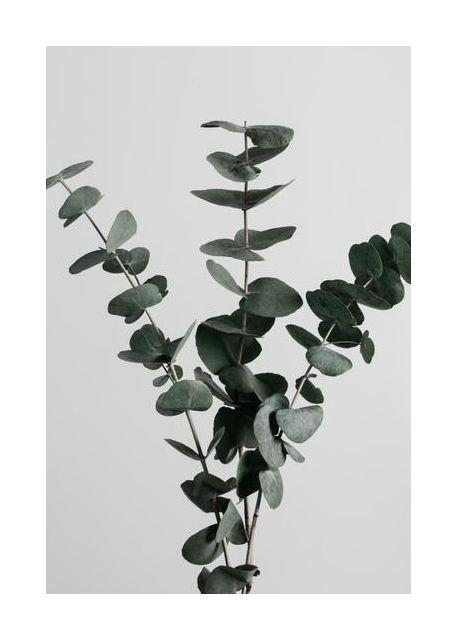 Eucalyptus Natural 01