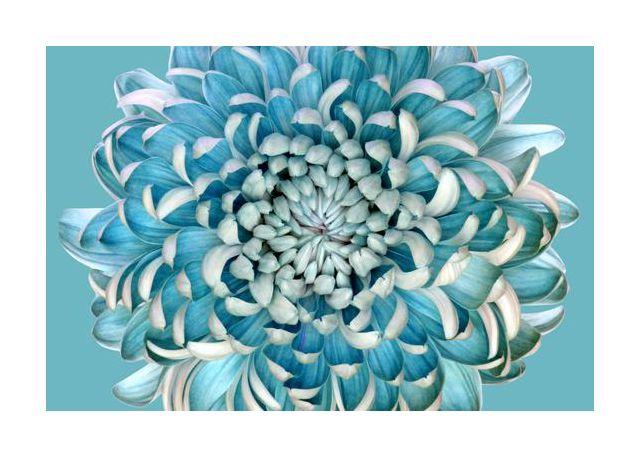Blue Chrysanth