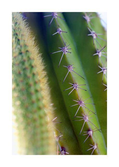 kolce kaktusa
