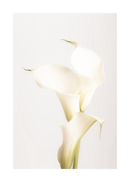 White Calla Lily No 3
