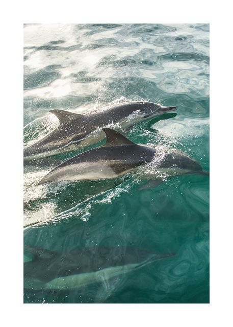 Swimming dolphins in the sea