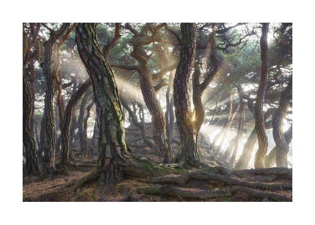 Sacred Pine Trees