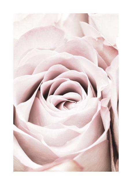 Pink Rose No 06