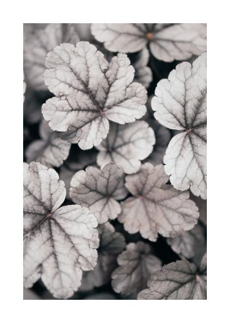 Gray-pink Leaves
