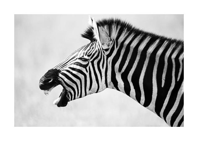 Zebra Yawning