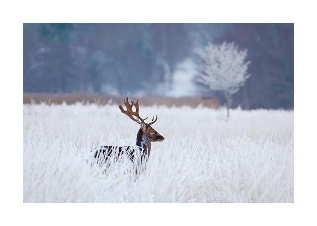 Fallow deer in the frozen winter landscape