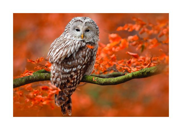 Owl in autumn tree horizontal