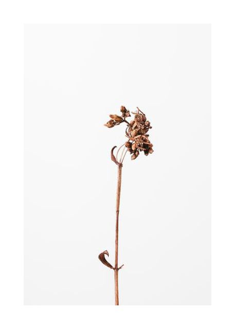 Dried brown plant 2