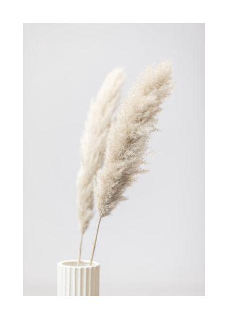 Pampas Grass Grey 11