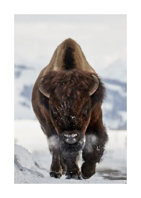 Bison Incoming