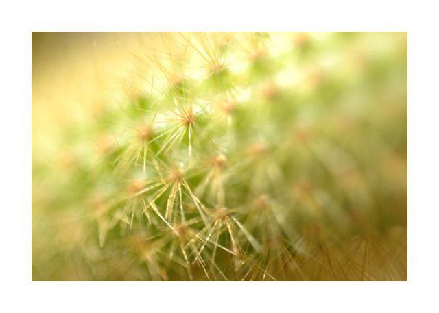 Hildewintera kaktus